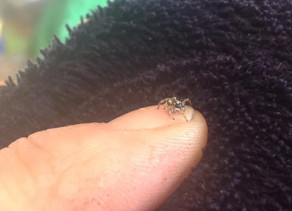 Salticidae (Jumping Spider)