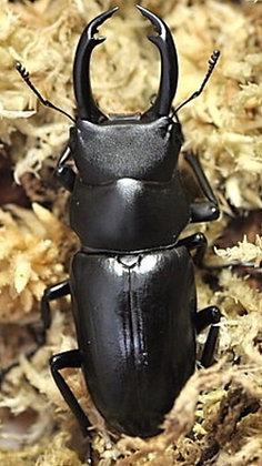 Dorcus yamadai  l1 x 1 grub