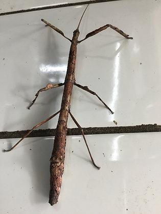 Mnesilochus capreolus x6 nymphs