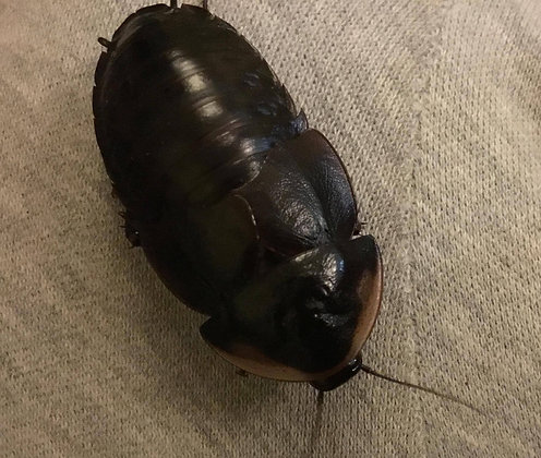 Cuban Burrowing Cockroach - (Byrsotria fumigata)