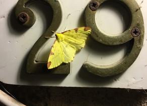 Opisthograptis luteolata (BrimStone Moth)