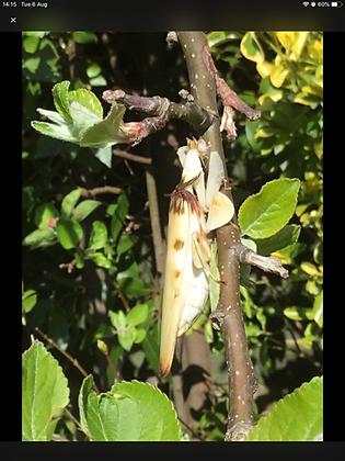 Hymenopus coronatus, orchid mantis Instar 2