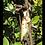 Thumbnail: Hymenopus coronatus, orchid mantis Instar 2