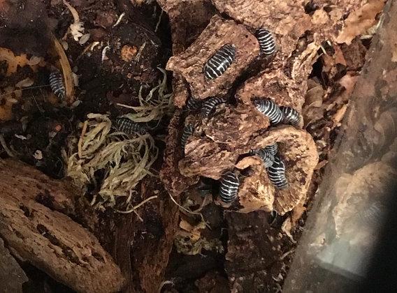 Armadillidum maculatum /zebra isopod