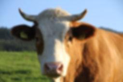 Von der Ferienwohnung hat man Ausblick auf weidende Kühe