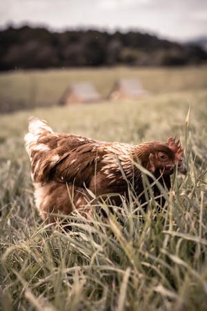 free range chicken.jpg
