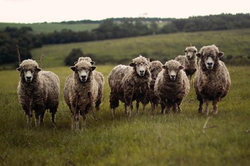 Local Produce Sheep.jpg