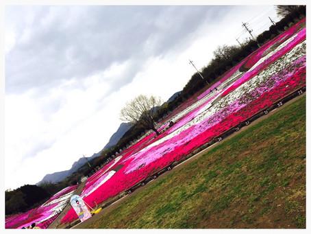 ✿芝桜公園✿