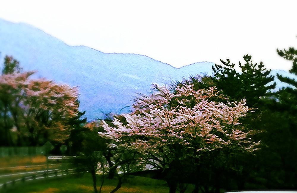 桜_edited.jpg