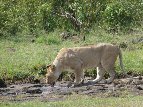 lionne au Maasai Mara