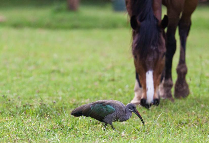 Aliocha et ibis hadada