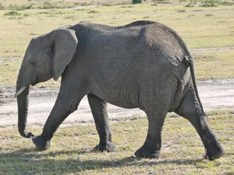 éléphant au Maasai Mara