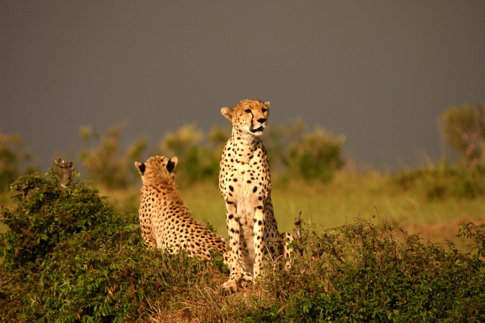 guépards au Masai Mara