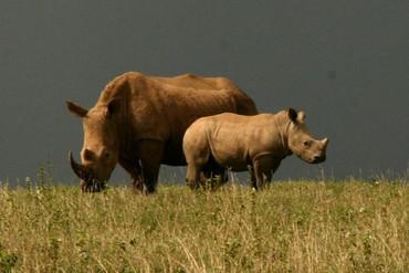 rhinocéros à Solio Game Reserve