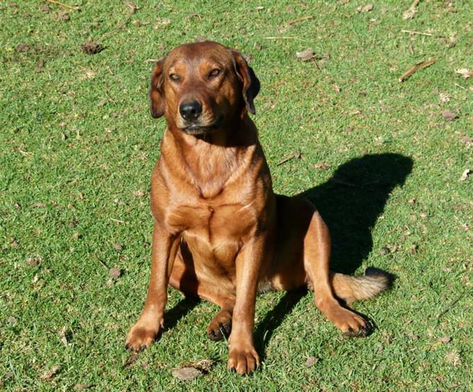 Daika chiene croisée rottweiler-ridgeback