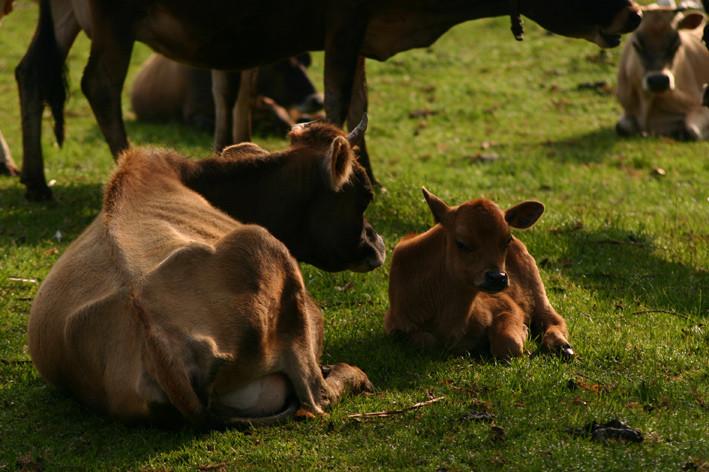 vache jersey et son veau
