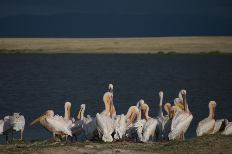 pélicans à Nakuru