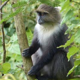 Cercopithèque à diadème ou Blue Monkey