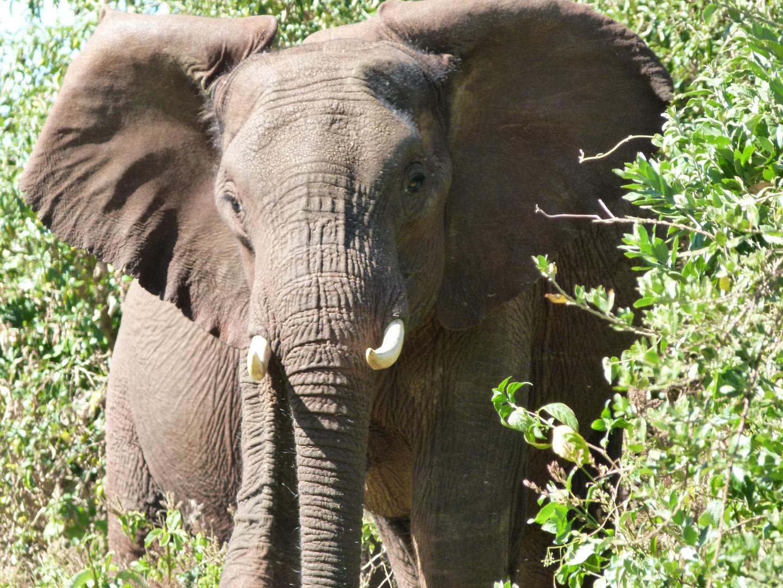 éléphant aux Aberdares