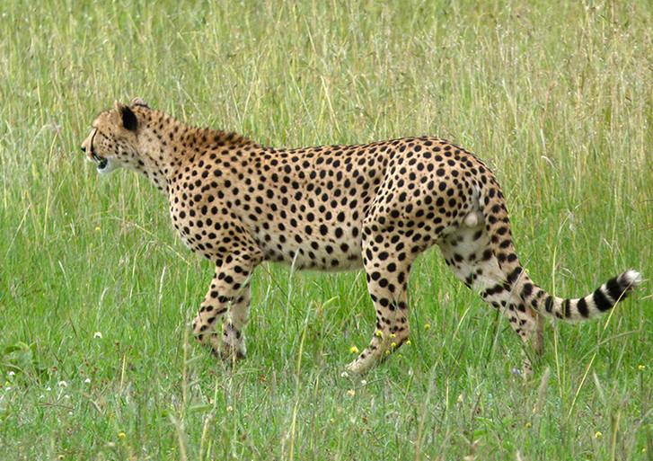 guépard à Maasai Mara