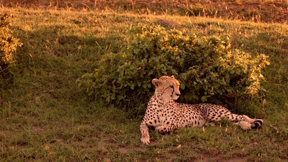 guépard au Maasai Mara