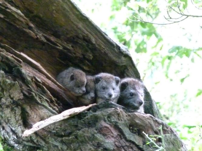 famille de damans des arbres