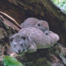 Femelle daman des arbres et son petit