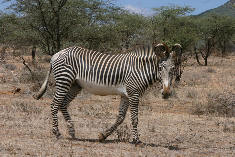 zèbre de Grévy à Samburu