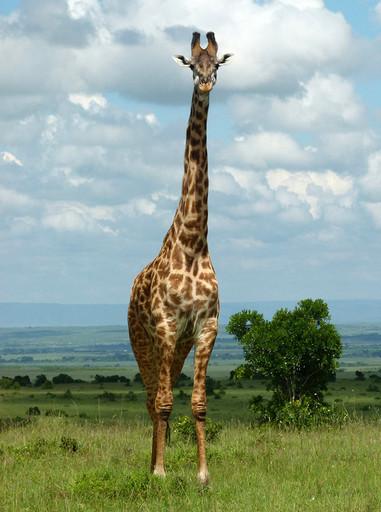 girafe Maasai