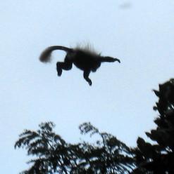 saut de colobe Guéréza