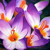 Jill Erickson Purple Crocus Watercolor.j