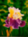 Jill Erickson Purple Velvet Iris Waterco