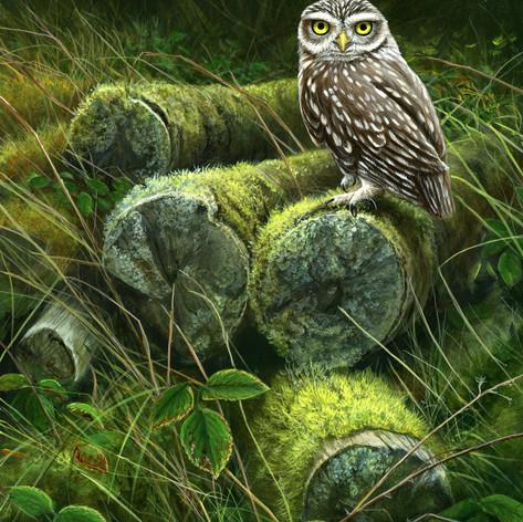 1252-Forgotten-logpile---little-owl 2 HI