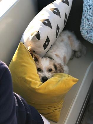 Sailing Dog Enjoying a Private Charter.j