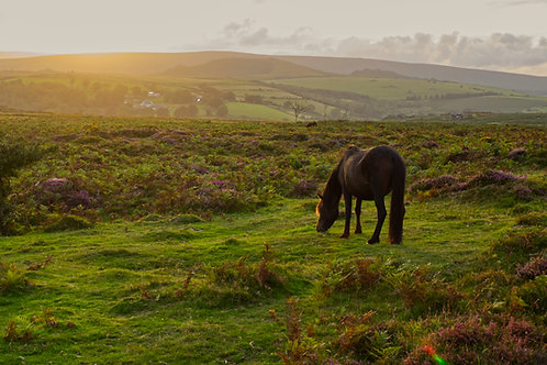 Sunset Foal