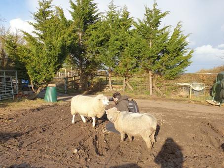 The Smallest Flock Sheep Sanctuary