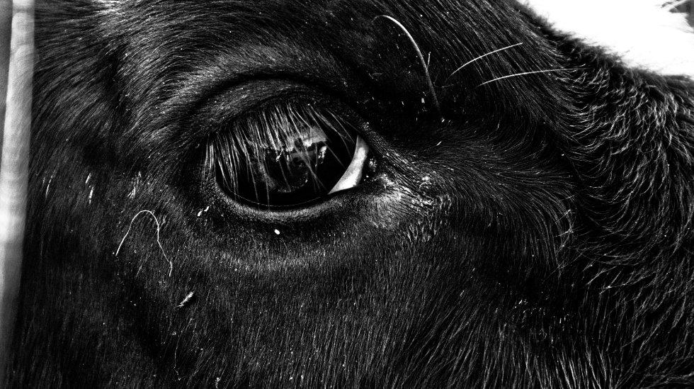 Cow1080.jpg
