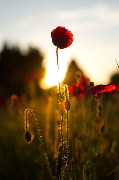 A Poppy Stands Tall