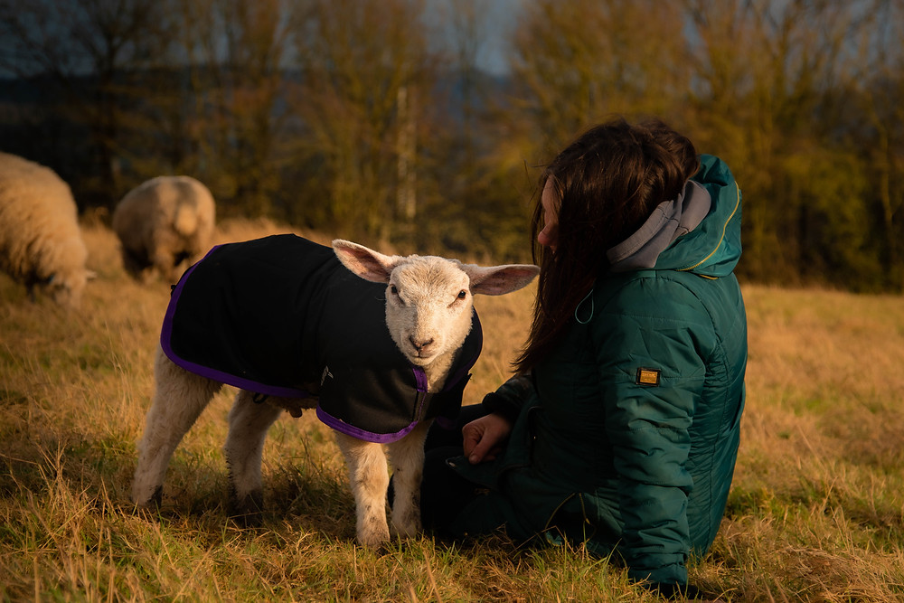 Lamb in a jacket with looking at the camera with a woman