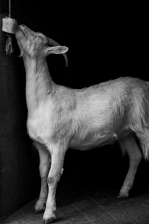 Cheeky Goat (Black & White)