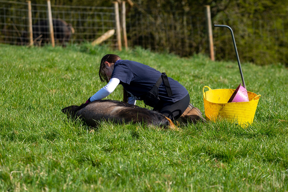 Rescued Kune Kune pig recieves tummy rubs in the sun from a member of sanctuary staff