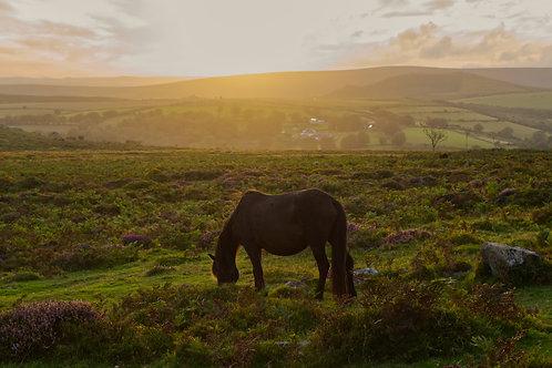 Dartmoor Pony at Sunset