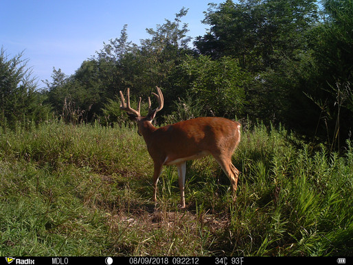 SURVIVING THE COVID-19 FRENZY: Velvet Whitetails On My Mind