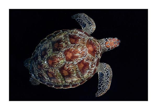 greeen turtle
