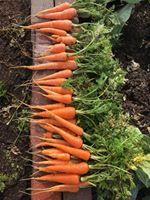 Garden-carrots January 2018