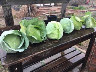 Garden Cabbage 2018