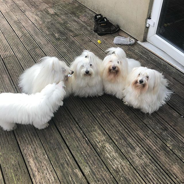 coton de tulear puppies,coton de tulear breeder,coton de tulear puppies in kent