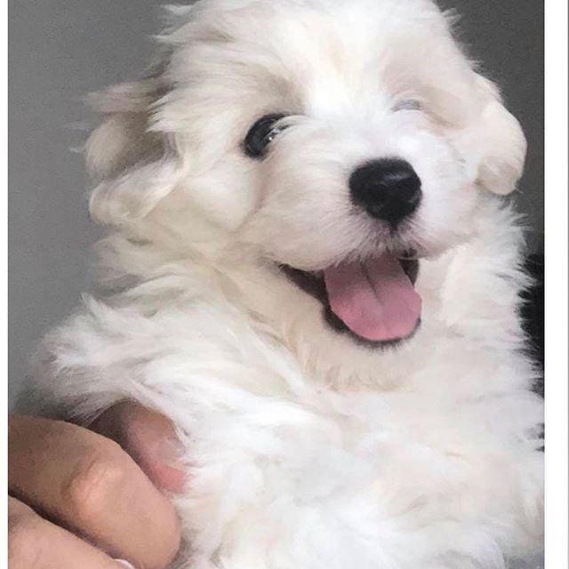coton de tulear puppy,coton de tulear breeder,coton de tulear puppies,coton de tulear breeder in kent