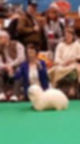 coton de tulear kennel,coton de tulear puppies