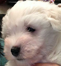 coton de tulear breeder in london